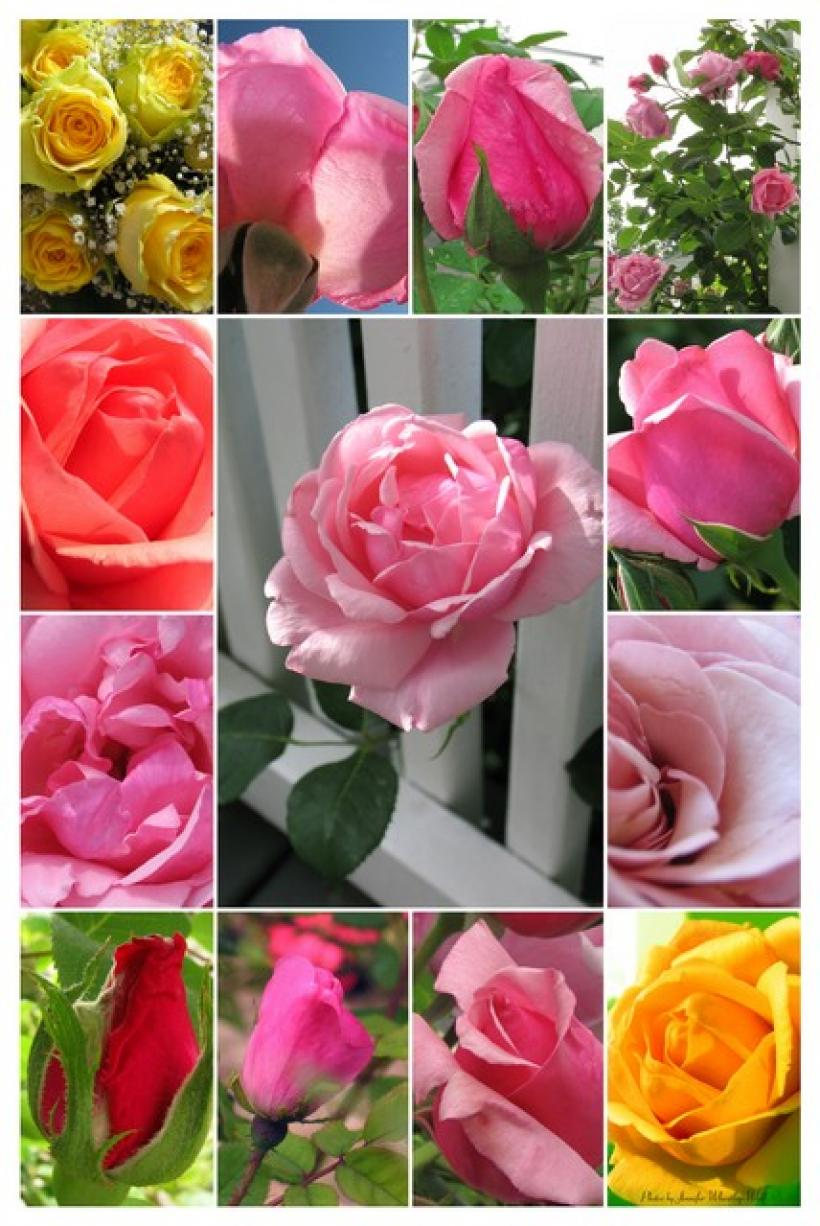 jennifer-wheatley-photographs-roses